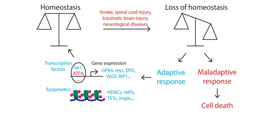 Driving the adaptive response to repair the injured brain.