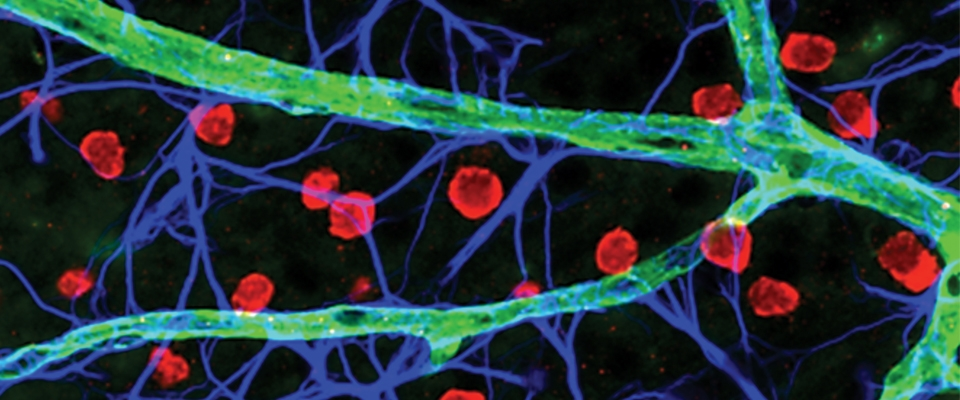 Elaborate network of blood capillaries, glial and neuronal cells in intact mammalian retina. (Sagdullaev laboratory)