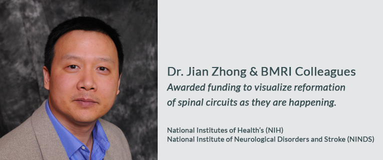 Dr. Jian Zhong & BMRI Colleagues Awarded funding to visualize reformation of spinal circuits as they are happening.