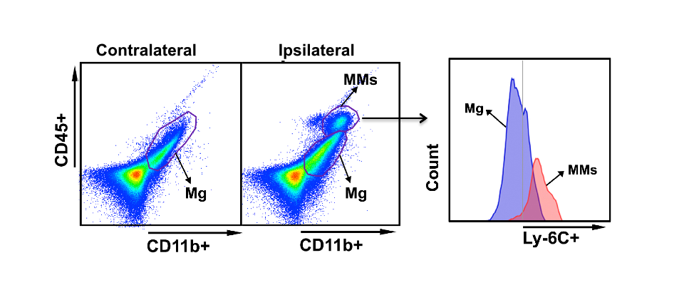 Gating strategy using a flow cytometer technique to identify microglia (Mg) and monocyte/macrophages (MMs) in the post-stroke brain.
